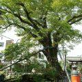 名木と伝説